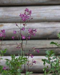 Lychnis viscaria ssp atropurpurea
